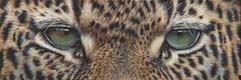 8x24_Leopard_Eyes_01_small