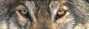 8x24_Wolf_Eyes_small